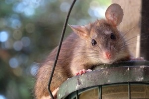 Rat Infestation, Pest Control in Cockfosters, East Barnet, EN4. Call Now 020 8166 9746