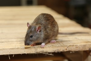 Rodent Control, Pest Control in Cockfosters, East Barnet, EN4. Call Now 020 8166 9746