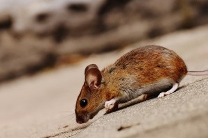 Mice Exterminator, Pest Control in Cockfosters, East Barnet, EN4. Call Now 020 8166 9746